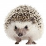 Four-toed Hedgehog, Atelerix albiventris, 2 years ...