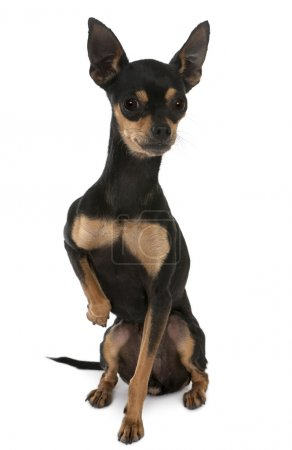 Prague Ratter, 2 years old, sitting in front of white background