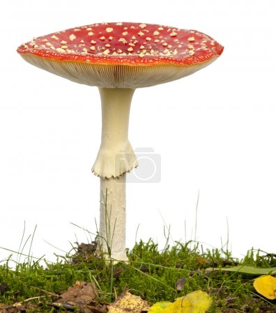 Fly agaric or fly Amanita mushroom, Amanita muscaria, in front o