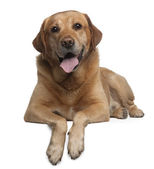 Labrador Retriever, 9 years old, lying in front of white background