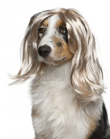 Australian Shepherd puppy wearing a wig, 5 months old, in front of white background