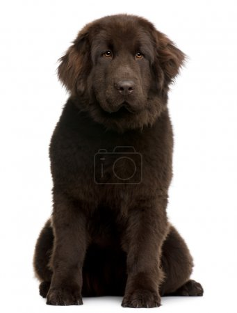 Photo for Brown Newfoundland puppy, 10 months old, sitting in front of white background - Royalty Free Image