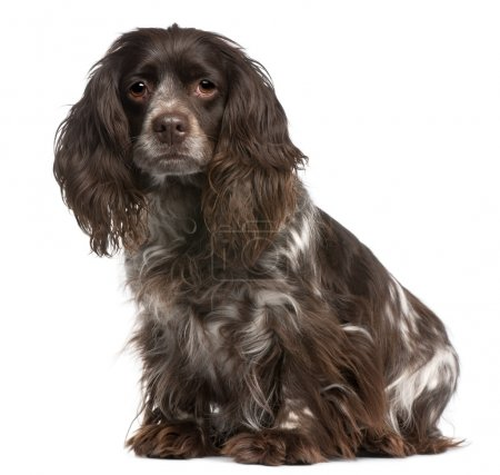 Crossbreed between a Cavalier King Charles and a Cocker Spaniel, 6 years old, sitting in front of white background