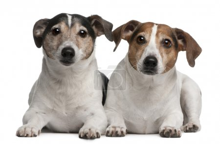 Jack Russell Terriers, 6 and 12 years old, lying in front of white background