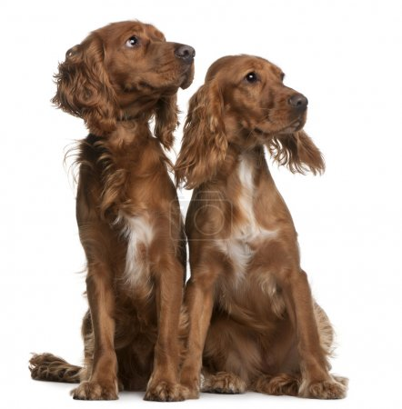 American Cocker Spaniels, 2 years old and 9 months old, sitting in front of white background