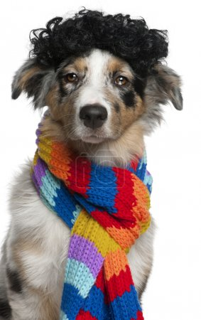 Australian Shepherd puppy wearing a wig and scarf, 5 months old, in front of white background
