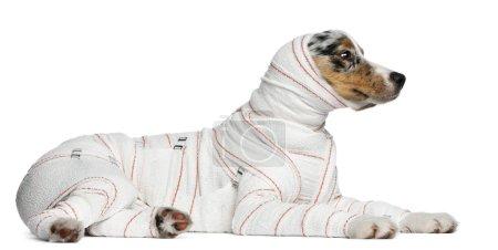 Australian Shepherd puppy in bandages, 5 months old, lying in fr