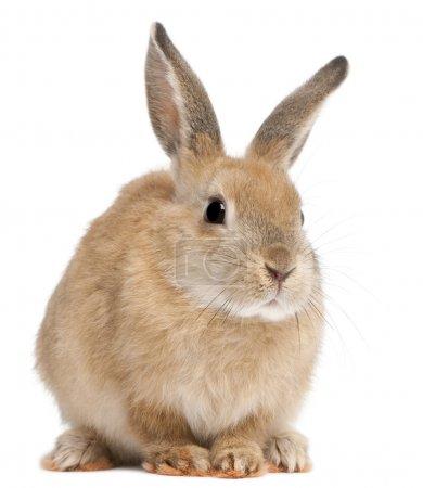 Photo pour Lapin lapin devant fond blanc - image libre de droit