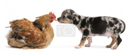 Photo for Chihuahua puppy interacting with a hen in front of white background - Royalty Free Image