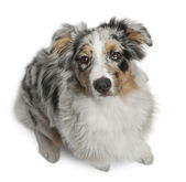 Australian Shepherd dog sitting in front of white background
