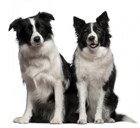 Border collies 1 and 9 years old, sitting in front of white background