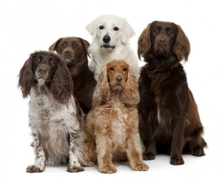 Group of dogs, Labrador Retriever, American Cocker Spaniel, English Cocker Spaniel and Kuvask, in front of white background