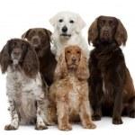 Group of dogs, Labrador Retriever, American Cocker...