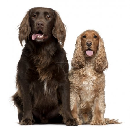 Labrador Retriever and English Cocker Spaniel, 6 and 9 years old, sitting in front of white background