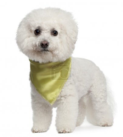 Photo for Bishon Frise wearing scarf, 7 years old, standing in front of white background - Royalty Free Image