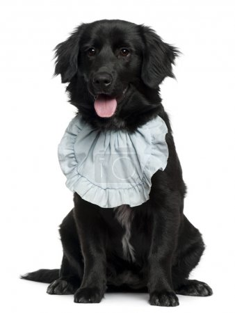 Golden Retriever wearing a bib, 5 months old, sitting in front of white background
