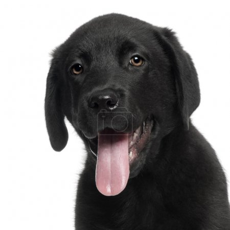 Labrador, 12 weeks old, with tongue out in front of white background