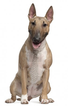 Bull Terrier wearing a necktie, 2 years old, sitting in front of white background