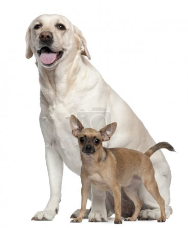 Pincher, 1 year old, and Labrador, 4 years old, in front of white background