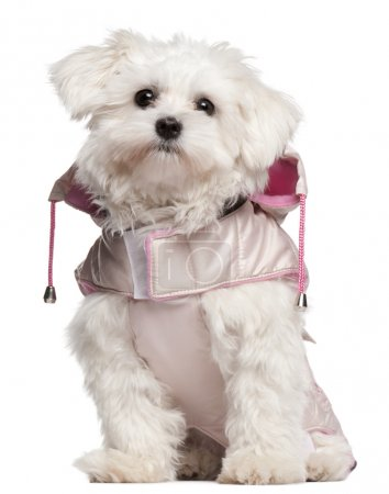 Maltese puppy wearing pink coat, 9 month old, sitting in front of white background