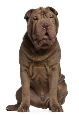 Shar Pei puppy, 5 months old, sitting in front of white background