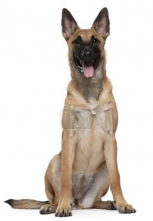 Belgian Shepherd puppy, Malinois, 5 months old, sitting in front of white background