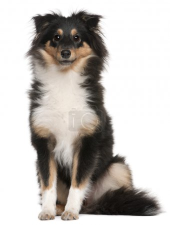 Shetland Sheepdog puppy, 6 months old, sitting in front of white background