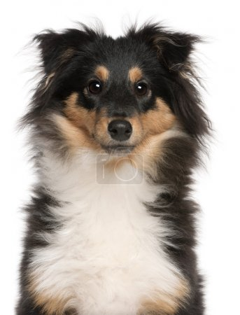 Close-up of Shetland Sheepdog puppy, 6 months old, in front of white background