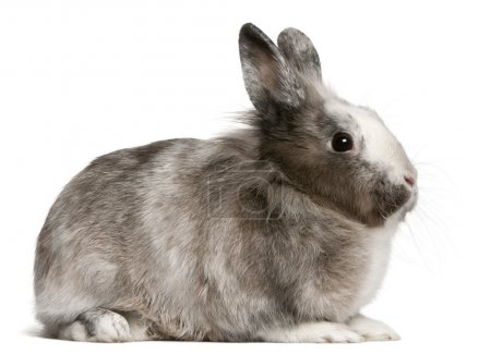 Rabbit, 11 months old, sitting in front of white background