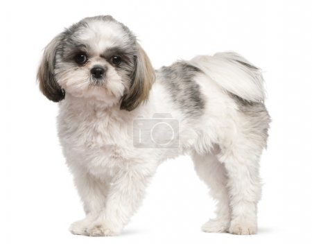 Shih Tzu, 8 months old, standing in front of white background