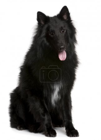 Belgian Shepherd Dog, Groenendael, 1 year old, sitting in front of white background