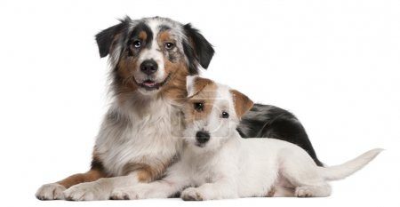 Australian Shepherd dog, 1 year old, Parson Russell Terrier puppy, 6 months old, lying in front of white background