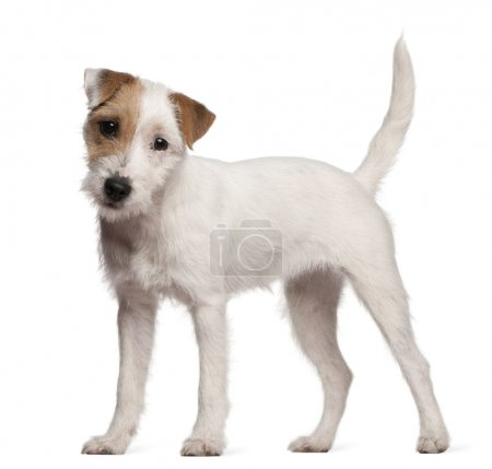 Parson Russell Terrier puppy, 6 months old, standing in front of white background