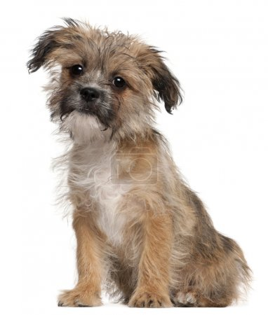 Mixed-breed puppy, 3 months old, sitting in front of white background