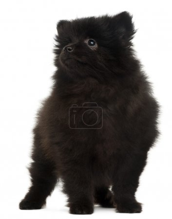 Spitz puppy, 2 months old, standing in front of white background