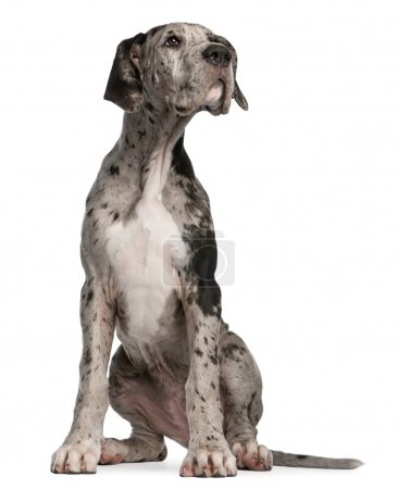 Great Dane puppy, 3 months old, sitting in front of white background
