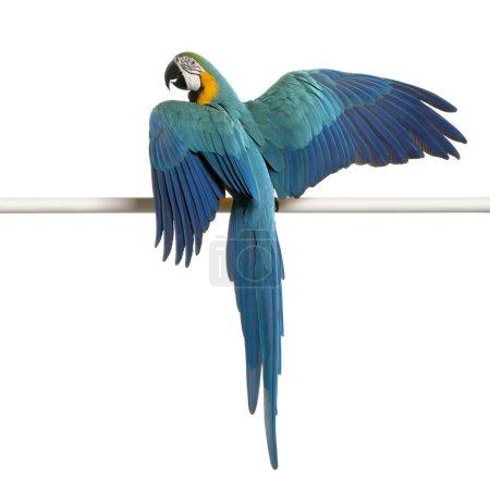 Photo pour Aras Bleu et Jaune, Ara Ararauna, perché sur la perche devant fond blanc - image libre de droit