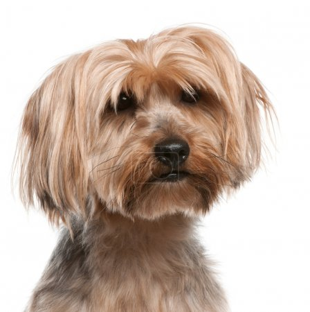 Yorkshire Terrier, 5 years old, in front of white background