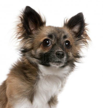 Close-up of Chihuahua, 1 year old, in front of white background