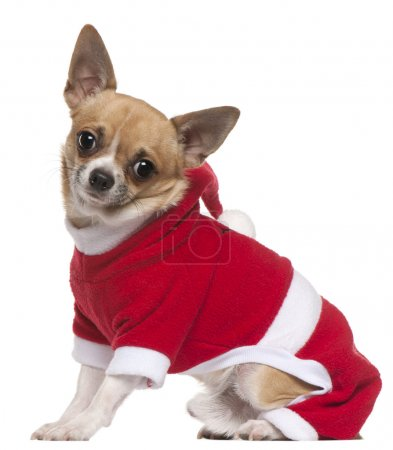 Chihuahua dressed in Santa outfit, 11 months old, sitting in front of white background