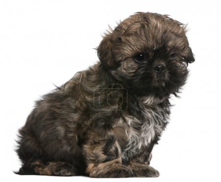Shih Tzu puppy, 8 weeks old, sitting in front of white background