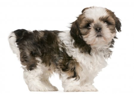 Shih Tzu puppy, 9 weeks old, standing in front of white background