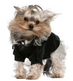 Yorkshire Terrier dressed up with hair in the wind, 14 months old, standing in front of white background