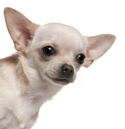 Close-up of Chihuahua, 8 months old, in front of white background
