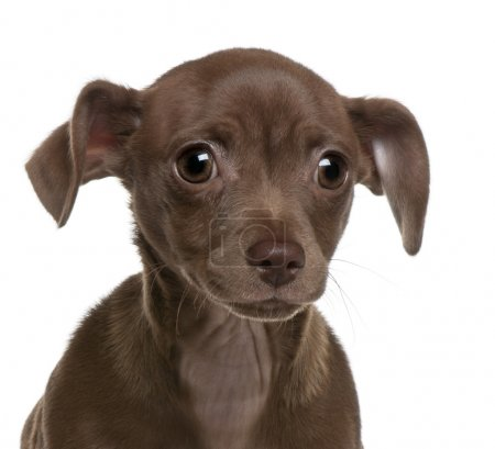 Close-up of Chihuahua puppy, 4 months old, in front of white background