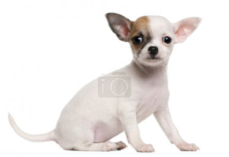 Chihuahua puppy, 2 months old, sitting in front of white background