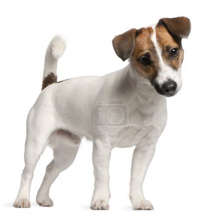 Photo pour Jack chiot terrier de russell, 7 mois, debout devant le fond blanc - image libre de droit