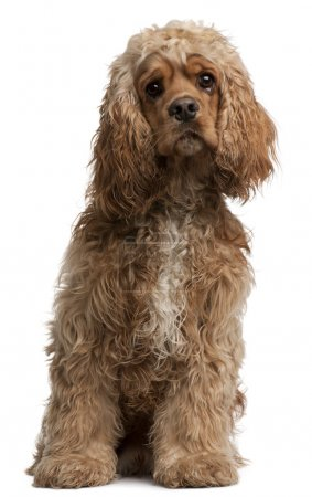 American Cocker Spaniel, 10 months old, sitting in front of whit