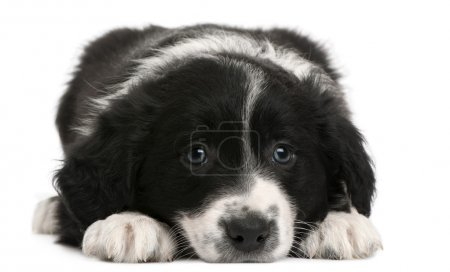 Border Collie puppy, 6 weeks old, lying in front of white background