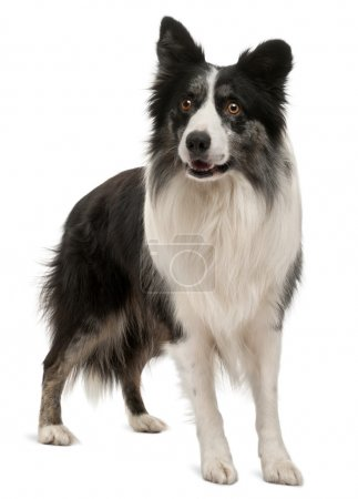Border Collie standing in front of white background